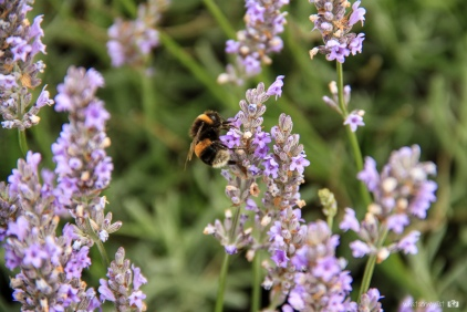 Abeja y lilas - whatsonmylist