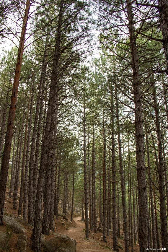 Caminando entre los árboles de la pedriza