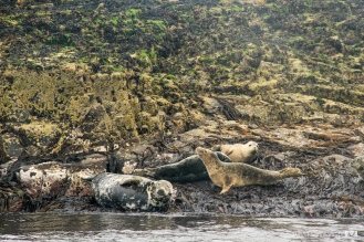 Grey seals / Focas grises